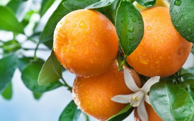 The Bright Side: What's Good for You Now, Winter's Tasty Citrus Fruits